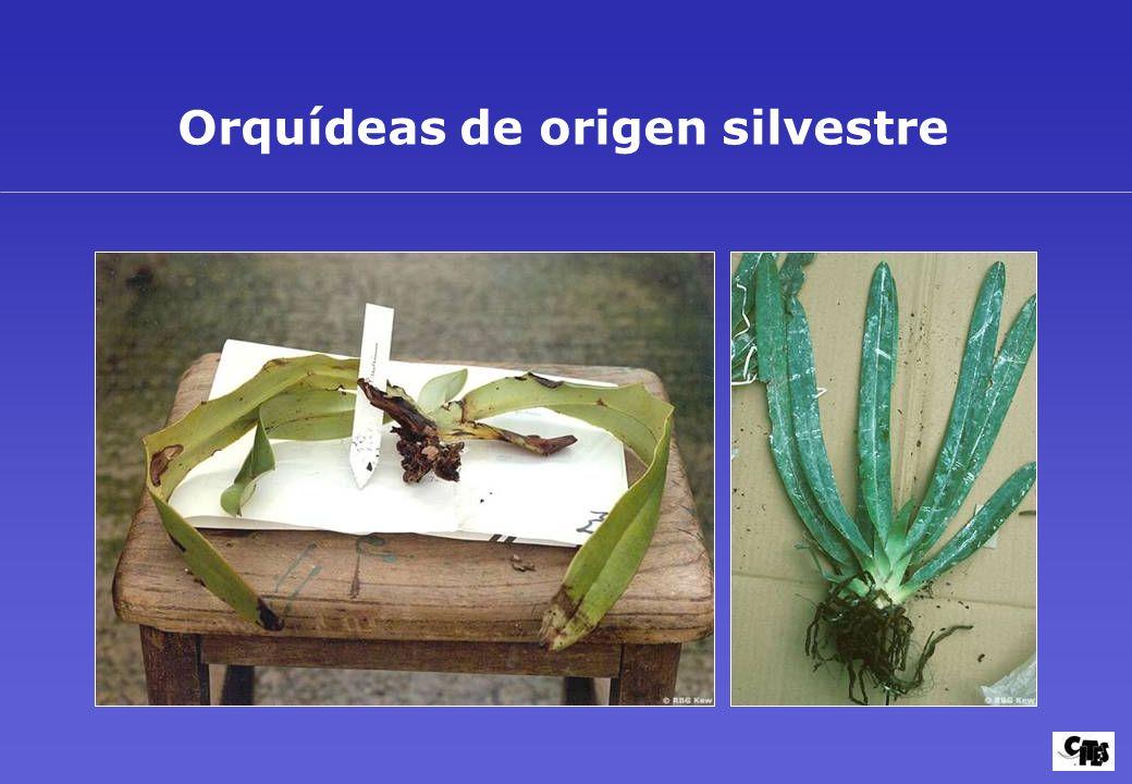 Orquídeas de origen silvestre