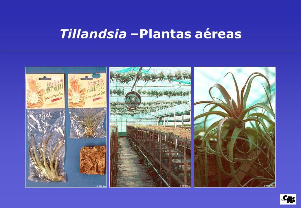 Tillandsia –Plantas aéreas
