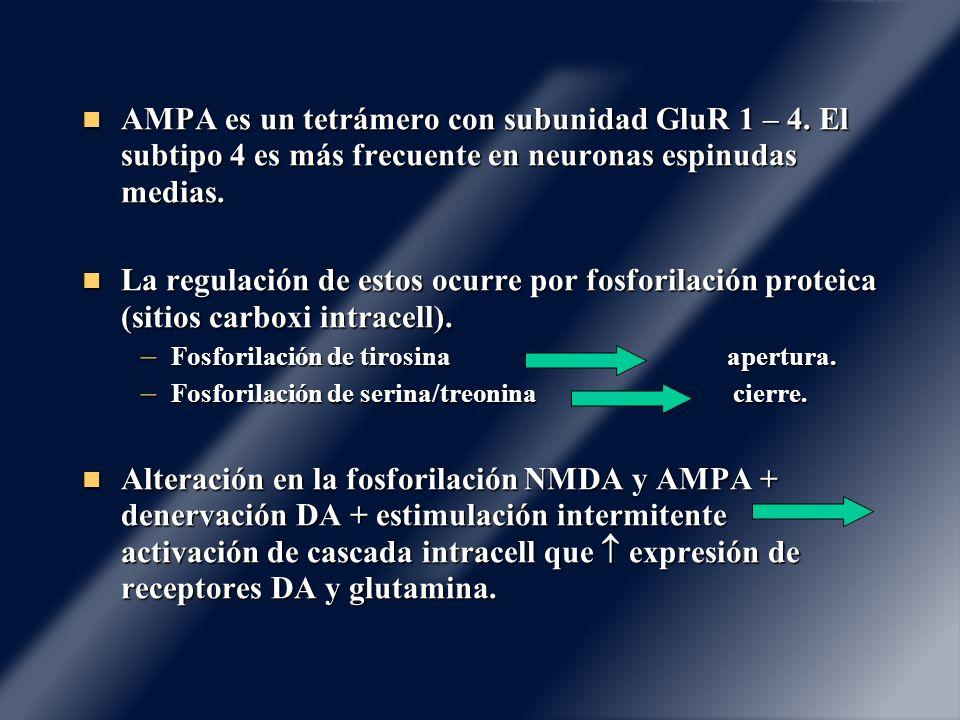 AMPA es un tetrámero con subunidad GluR 1 – 4