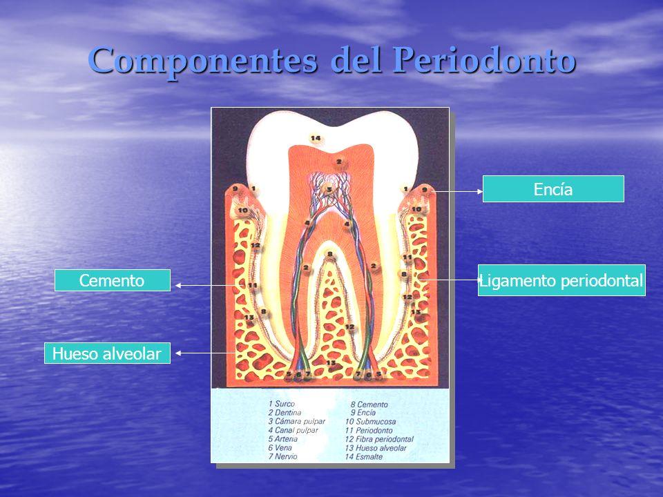 Componentes del Periodonto