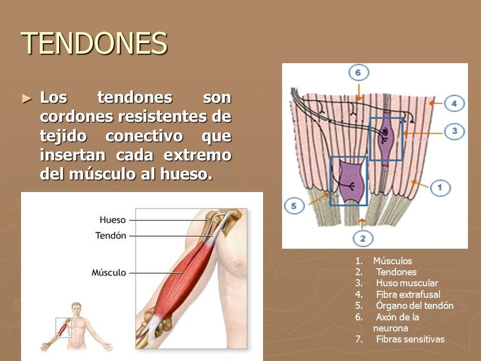 TENDONES Los tendones son cordones resistentes de tejido conectivo que insertan cada extremo del músculo al hueso.