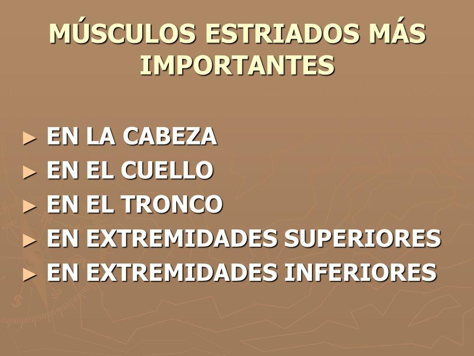 MÚSCULOS ESTRIADOS MÁS IMPORTANTES
