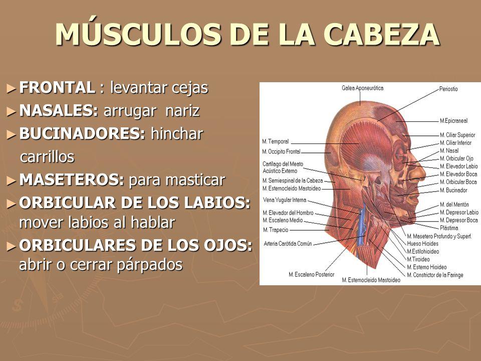 MÚSCULOS DE LA CABEZA FRONTAL : levantar cejas NASALES: arrugar nariz