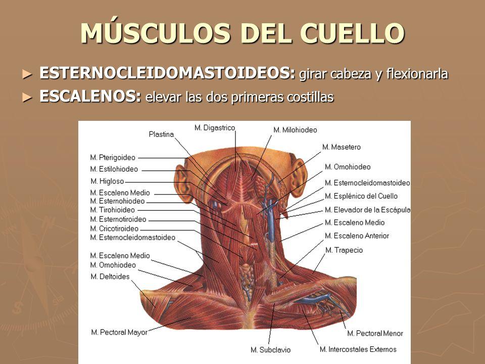 MÚSCULOS DEL CUELLO ESTERNOCLEIDOMASTOIDEOS: girar cabeza y flexionarla.