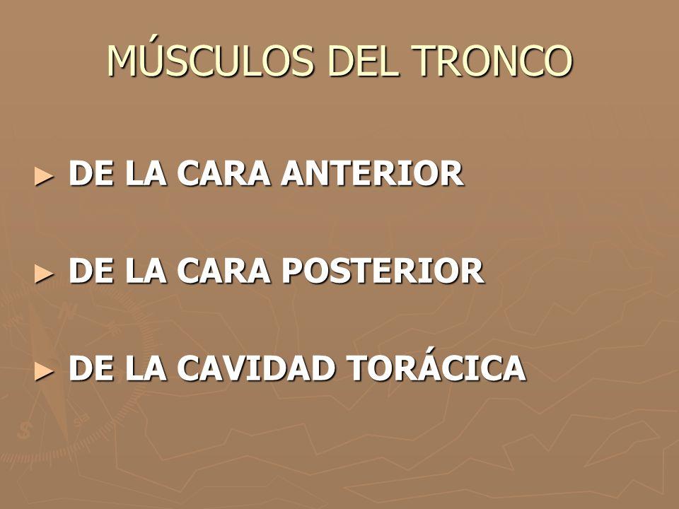 MÚSCULOS DEL TRONCO DE LA CARA ANTERIOR DE LA CARA POSTERIOR