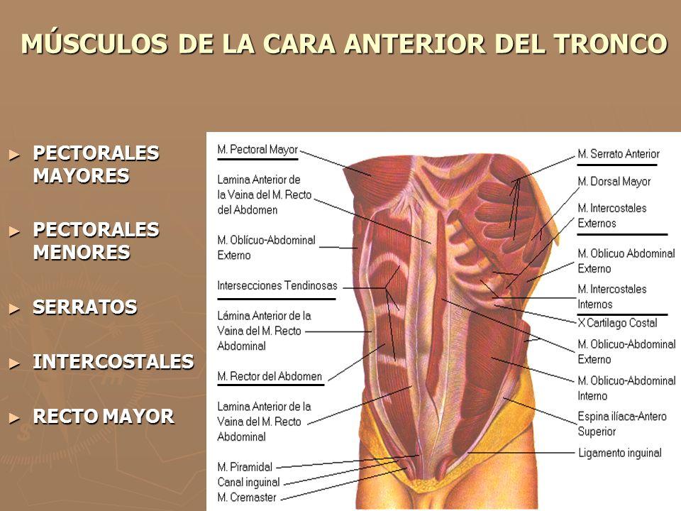 MÚSCULOS DE LA CARA ANTERIOR DEL TRONCO