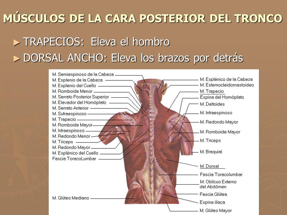 MÚSCULOS DE LA CARA POSTERIOR DEL TRONCO