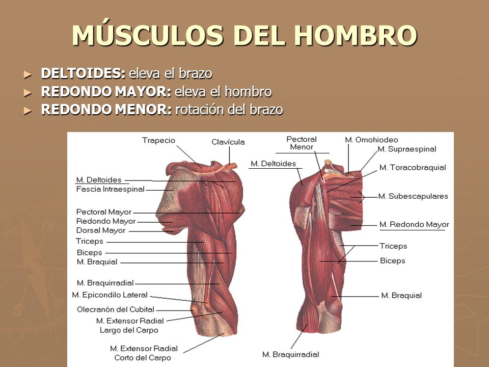 MÚSCULOS DEL HOMBRO DELTOIDES: eleva el brazo