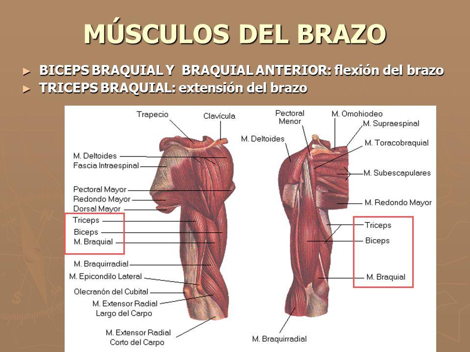 MÚSCULOS DEL BRAZO BICEPS BRAQUIAL Y BRAQUIAL ANTERIOR: flexión del brazo.
