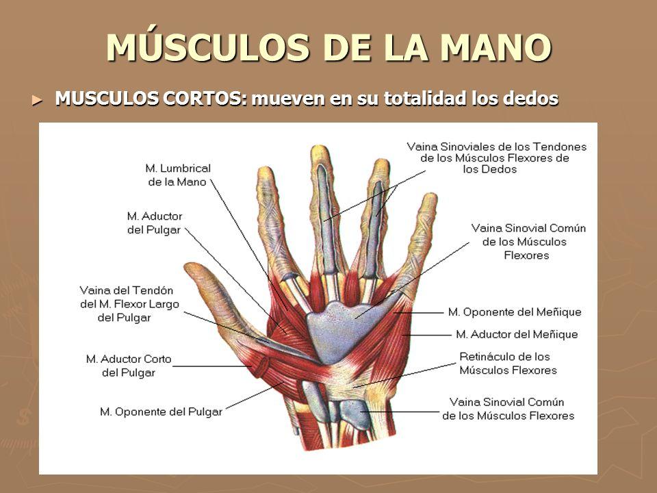 MÚSCULOS DE LA MANO MUSCULOS CORTOS: mueven en su totalidad los dedos