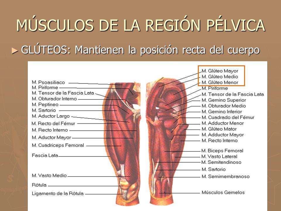 MÚSCULOS DE LA REGIÓN PÉLVICA