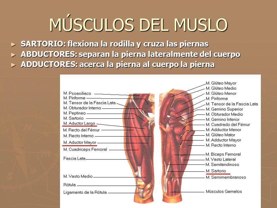 MÚSCULOS DEL MUSLO SARTORIO: flexiona la rodilla y cruza las piernas