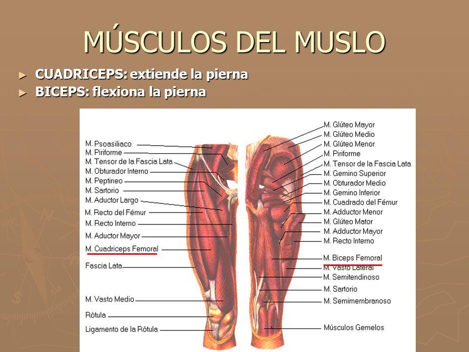 MÚSCULOS DEL MUSLO CUADRICEPS: extiende la pierna