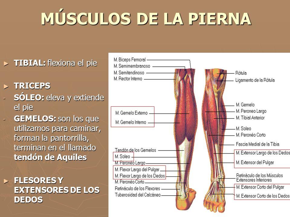 Dorable Pierna Músculo Anatomía Galería - Imágenes de Anatomía ...