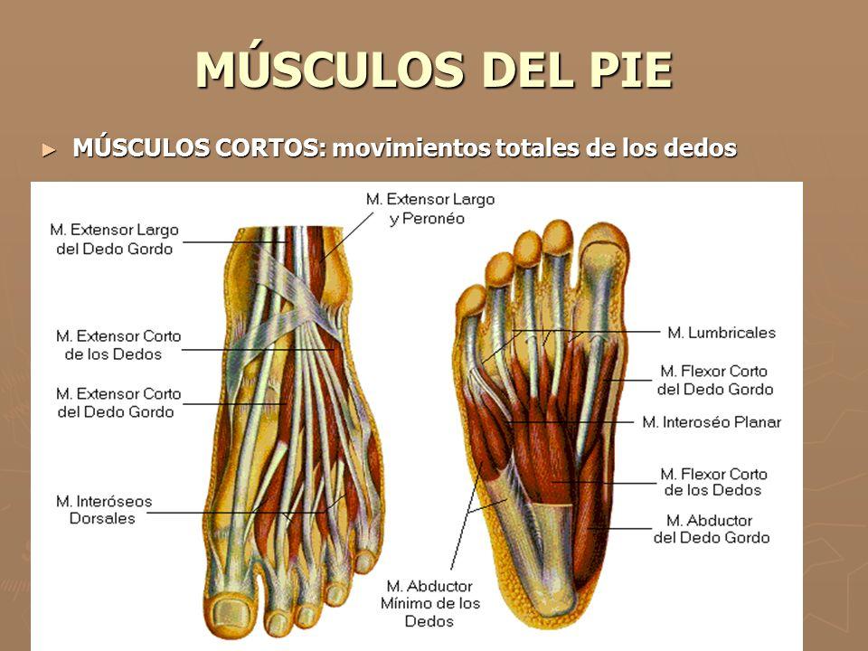 MÚSCULOS DEL PIE MÚSCULOS CORTOS: movimientos totales de los dedos
