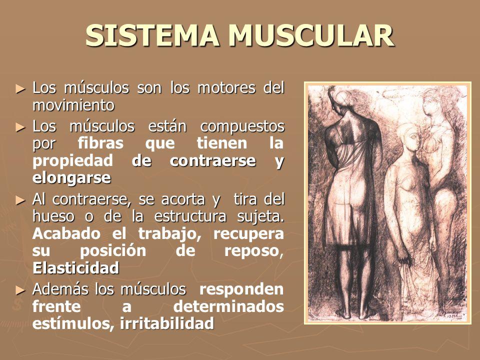 SISTEMA MUSCULAR Los músculos son los motores del movimiento