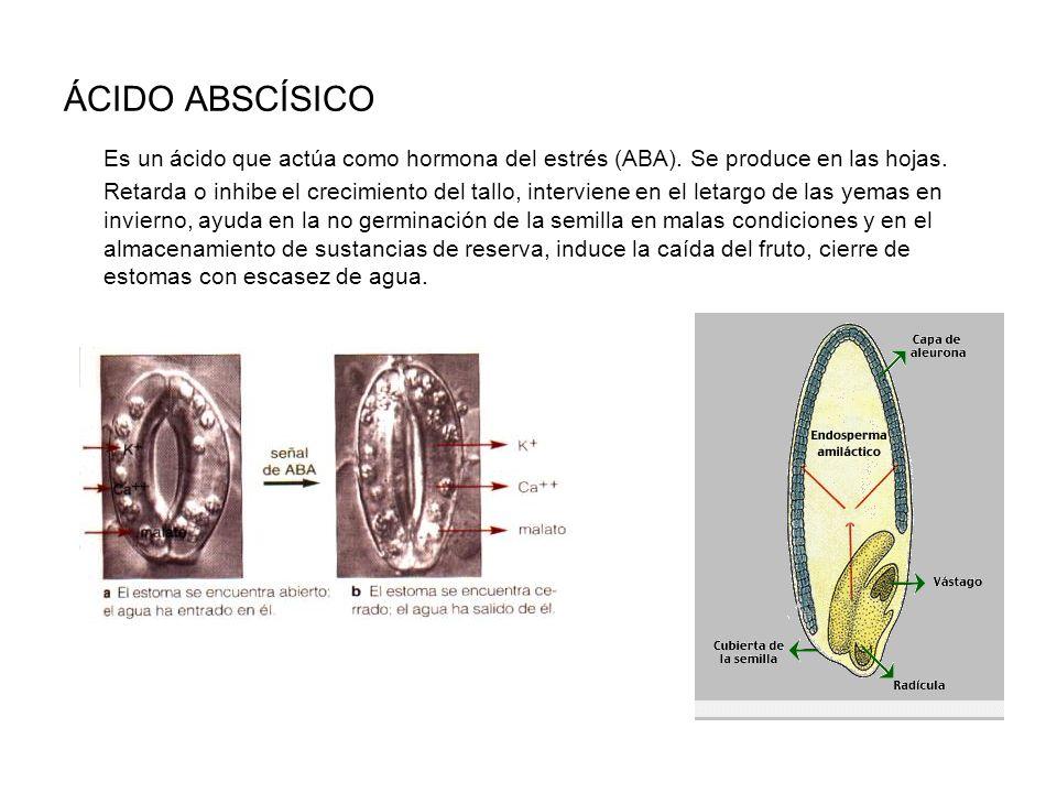 ÁCIDO ABSCÍSICO Es un ácido que actúa como hormona del estrés (ABA). Se produce en las hojas.