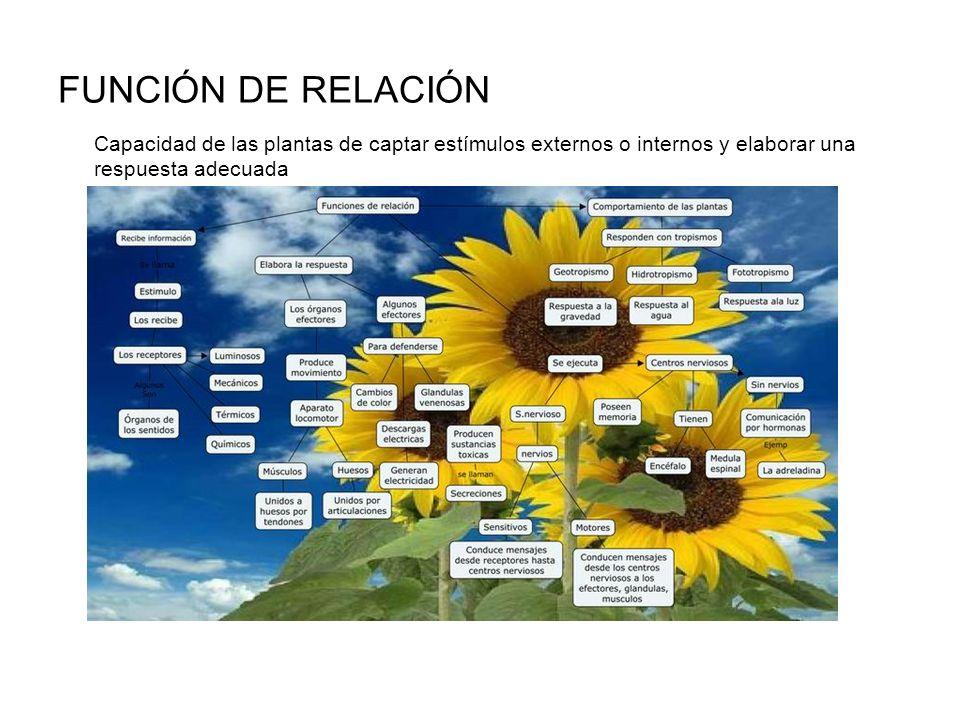 FUNCIÓN DE RELACIÓN Capacidad de las plantas de captar estímulos externos o internos y elaborar una respuesta adecuada.