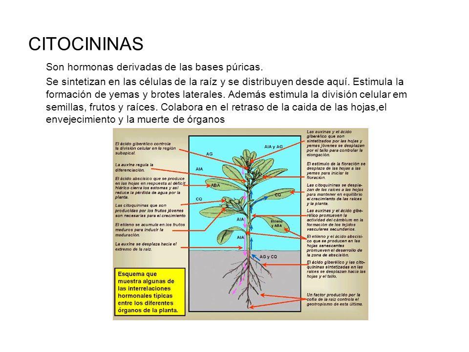 CITOCININAS Son hormonas derivadas de las bases púricas.