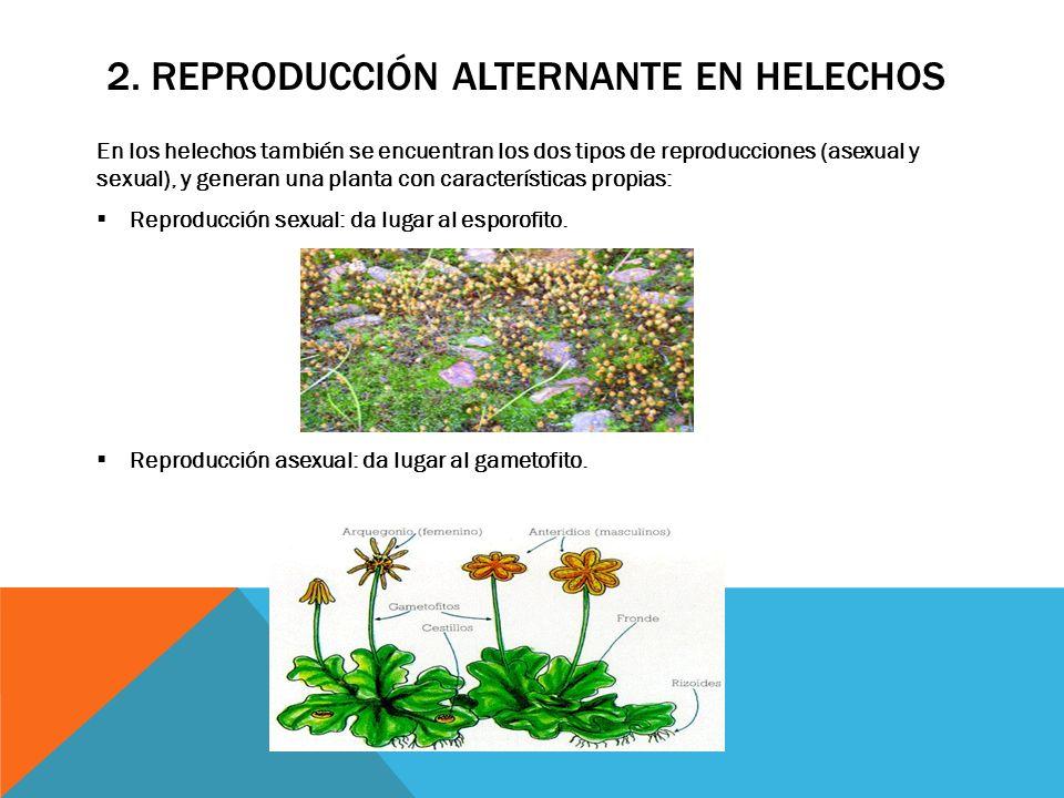 La reproducci n alternante en las plantas sin semillas for Plantas sin semillas