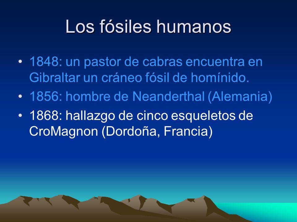 Los fósiles humanos 1848: un pastor de cabras encuentra en Gibraltar un cráneo fósil de homínido. 1856: hombre de Neanderthal (Alemania)
