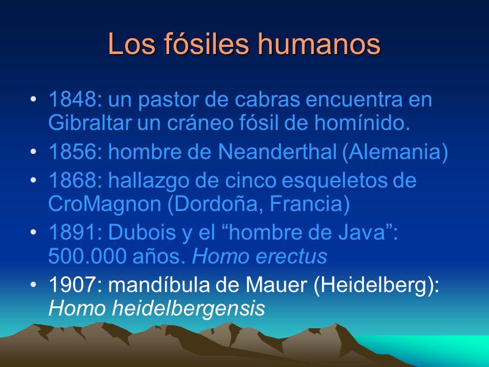 Los fósiles humanos1848: un pastor de cabras encuentra en Gibraltar un cráneo fósil de homínido. 1856: hombre de Neanderthal (Alemania)