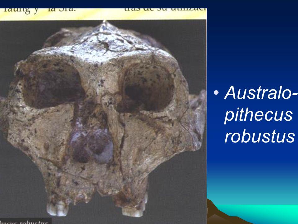 Australo-pithecus robustus