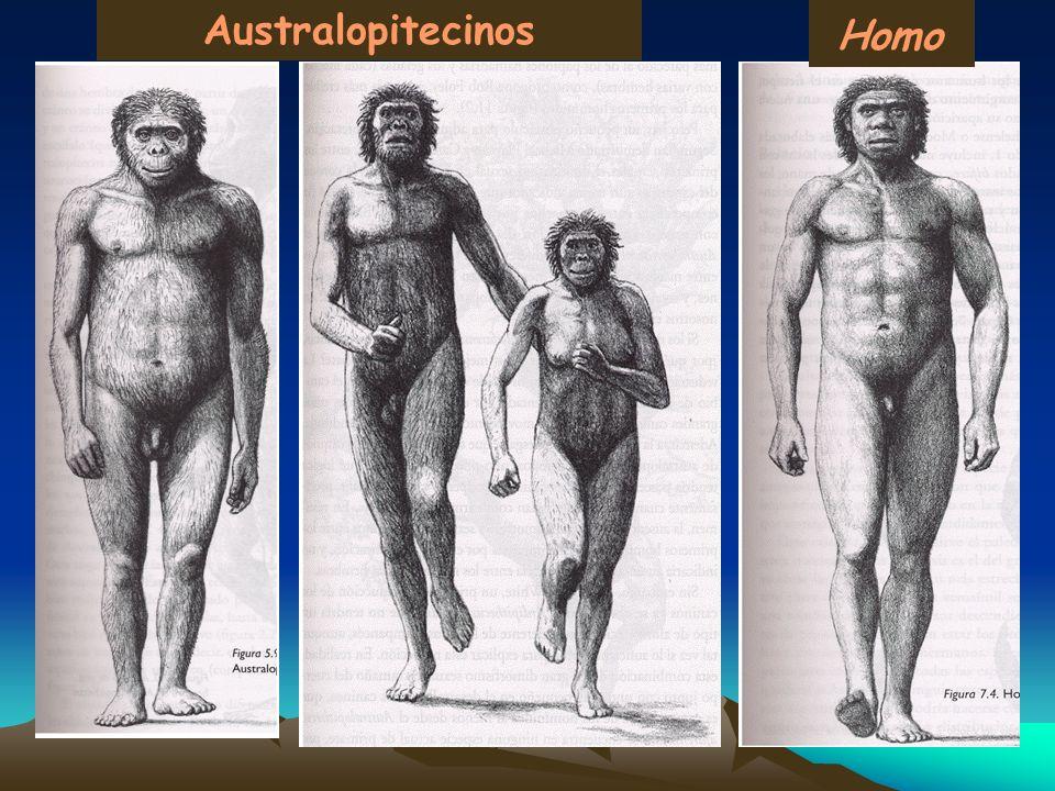 Australopitecinos Homo