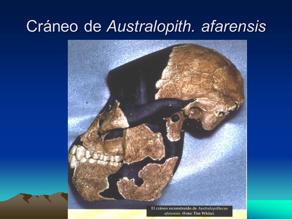 Cráneo de Australopith. afarensis