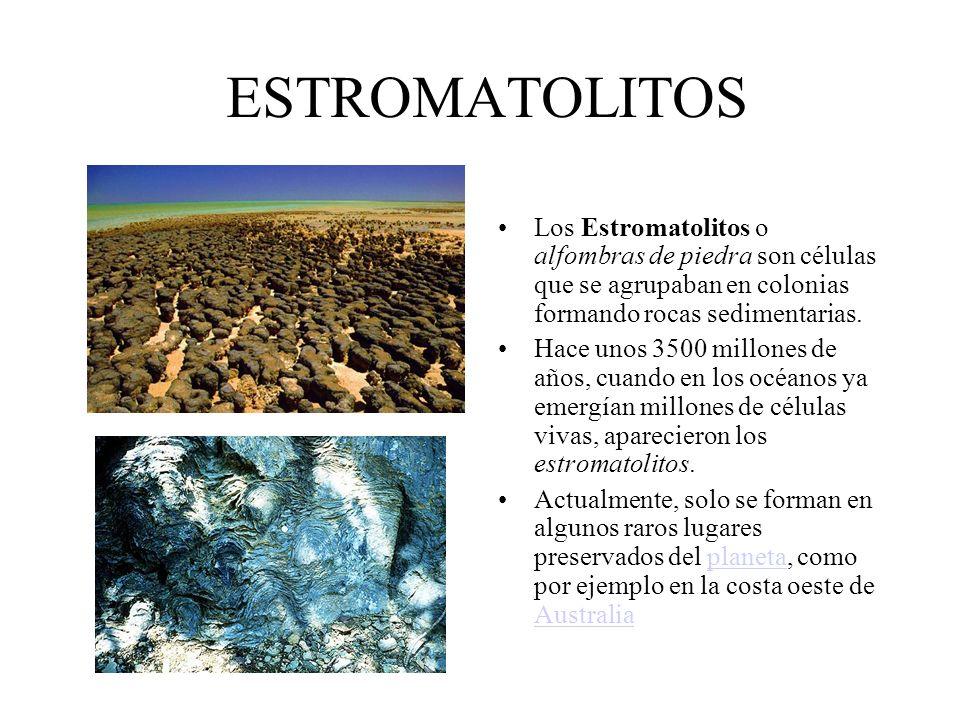 ESTROMATOLITOS Los Estromatolitos o alfombras de piedra son células que se agrupaban en colonias formando rocas sedimentarias.