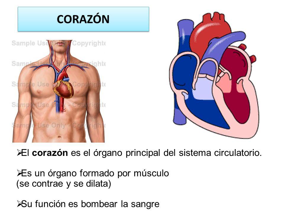 CORAZÓN El corazón es el órgano principal del sistema circulatorio.