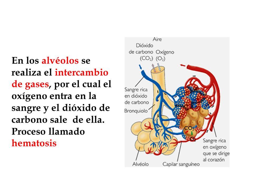 En los alvéolos se realiza el intercambio de gases, por el cual el oxígeno entra en la sangre y el dióxido de carbono sale de ella.