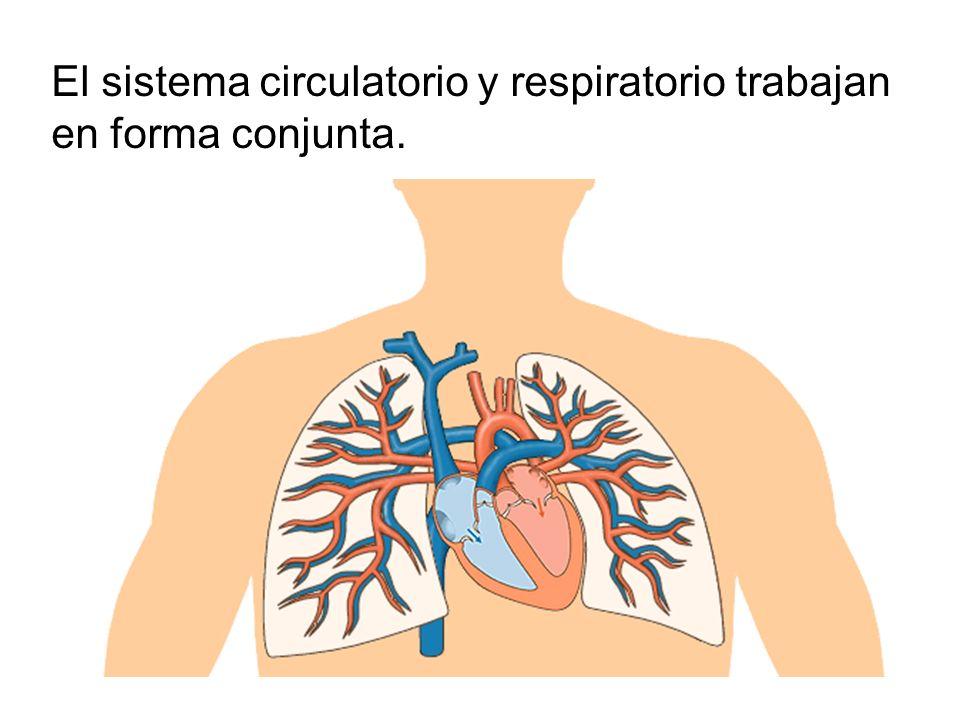 El sistema circulatorio y respiratorio trabajan en forma conjunta.