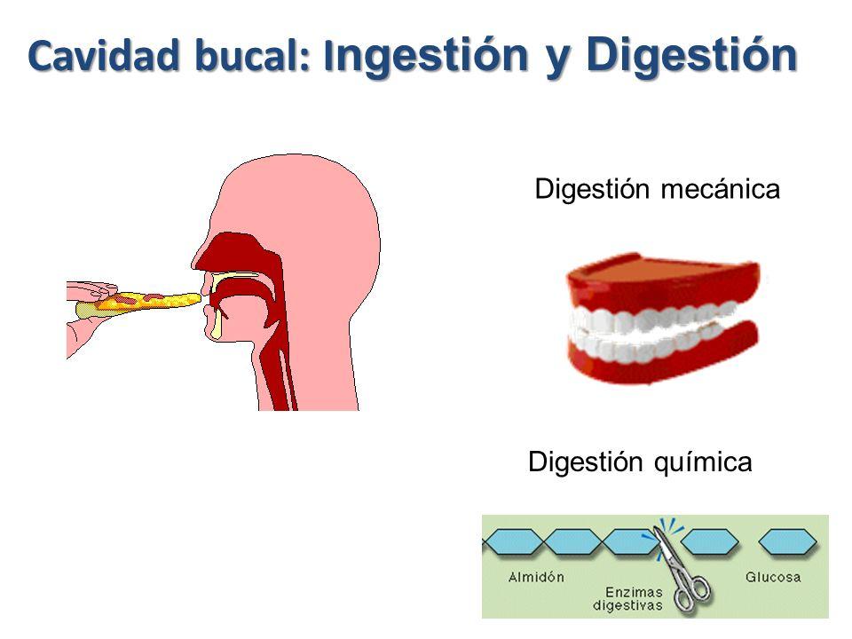 Cavidad bucal: Ingestión y Digestión