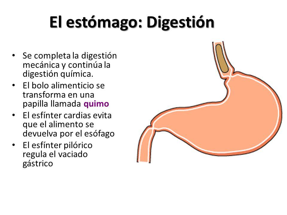 El estómago: Digestión