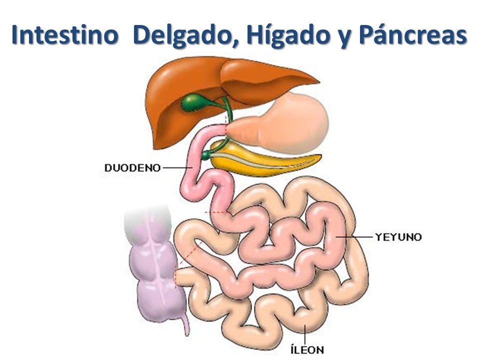 Intestino Delgado, Hígado y Páncreas