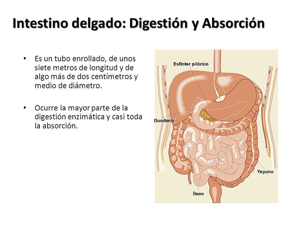 Intestino delgado: Digestión y Absorción