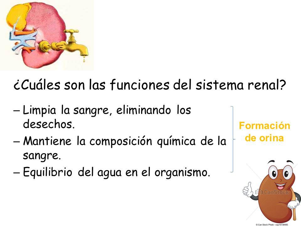 ¿Cuáles son las funciones del sistema renal