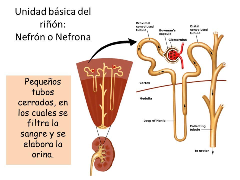 Unidad básica del riñón: Nefrón o Nefrona