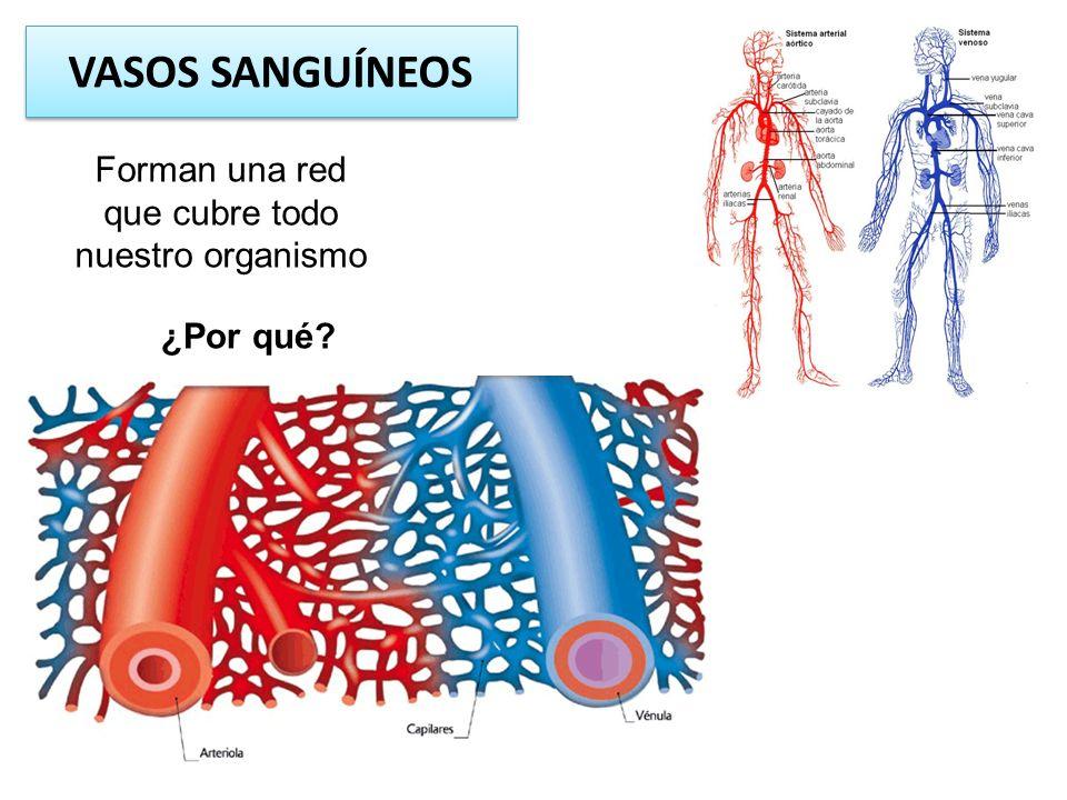 Forman una red que cubre todo nuestro organismo