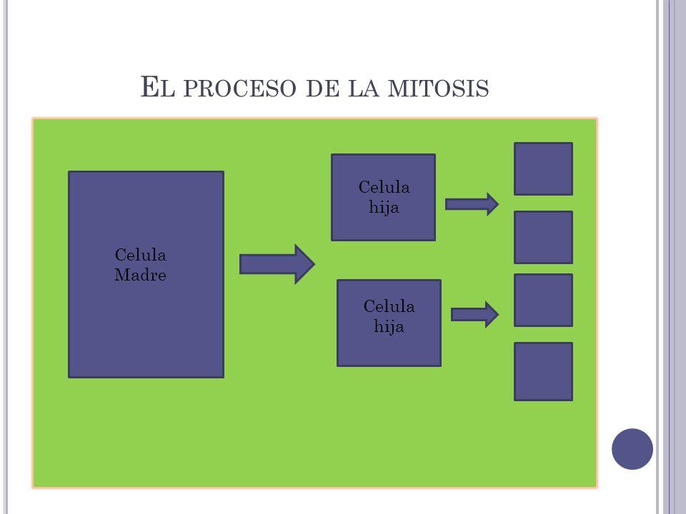 El proceso de la mitosis