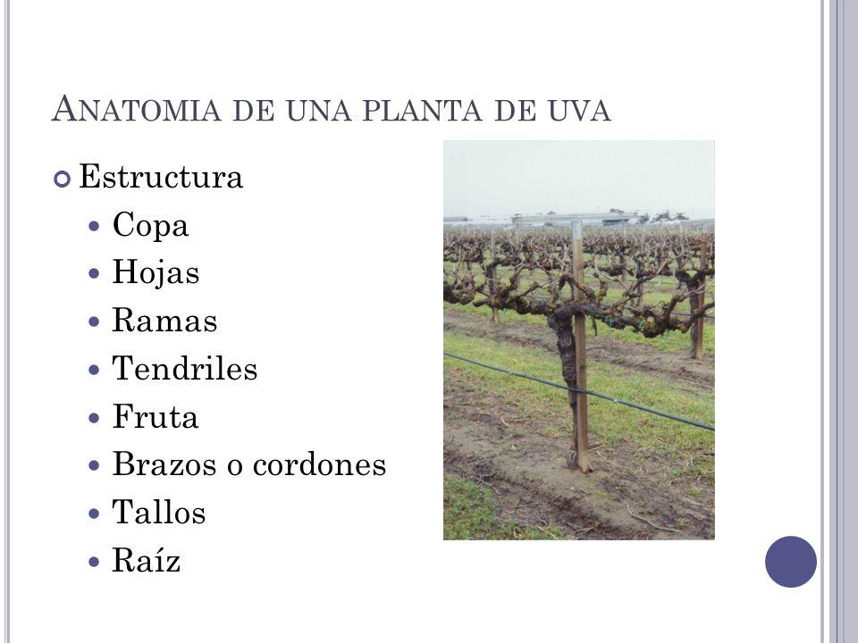 Anatomia de una planta de uva