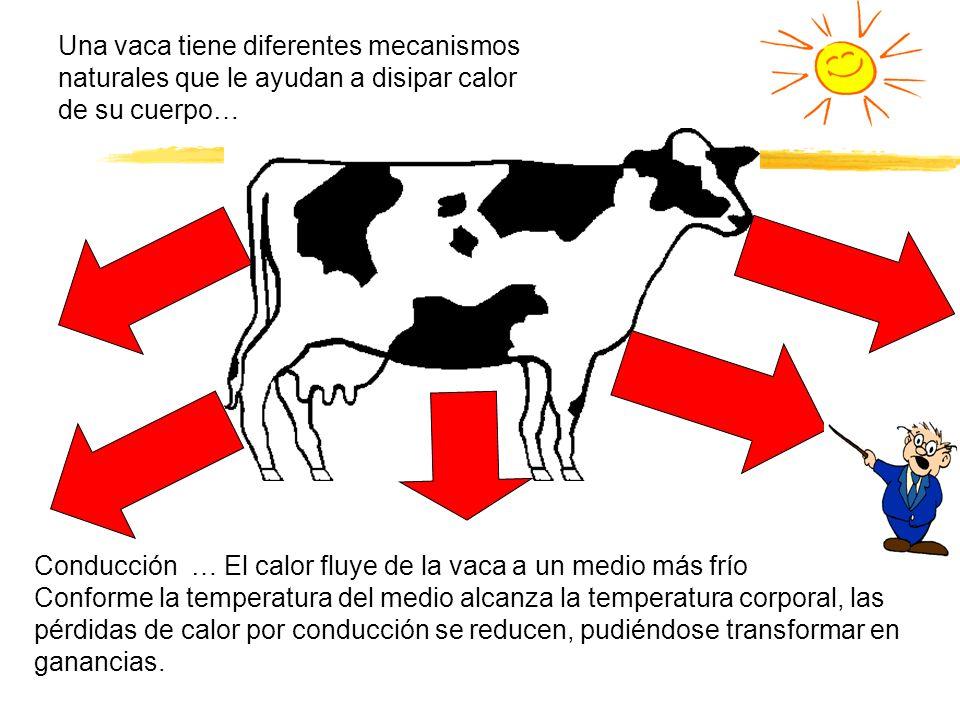 Una vaca tiene diferentes mecanismos naturales que le ayudan a disipar calor