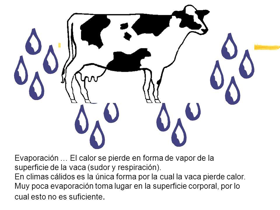 Evaporación … El calor se pierde en forma de vapor de la superficie de la vaca (sudor y respiración).