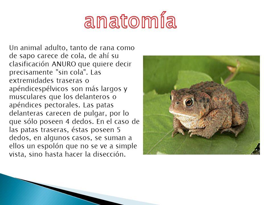 Excepcional Anatomía Externa De Una Rana Adorno - Imágenes de ...