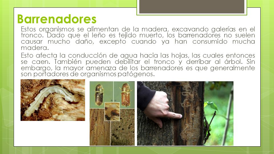 Principales plagas forestales ppt video online descargar for Arboles que no se le caen las hojas en invierno