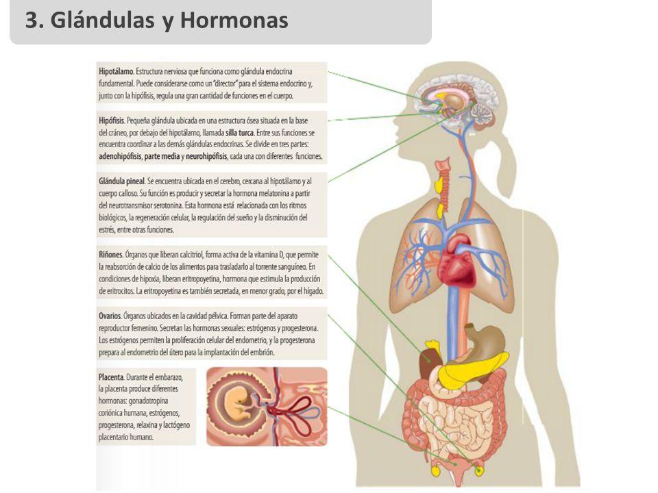 3. Glándulas y Hormonas