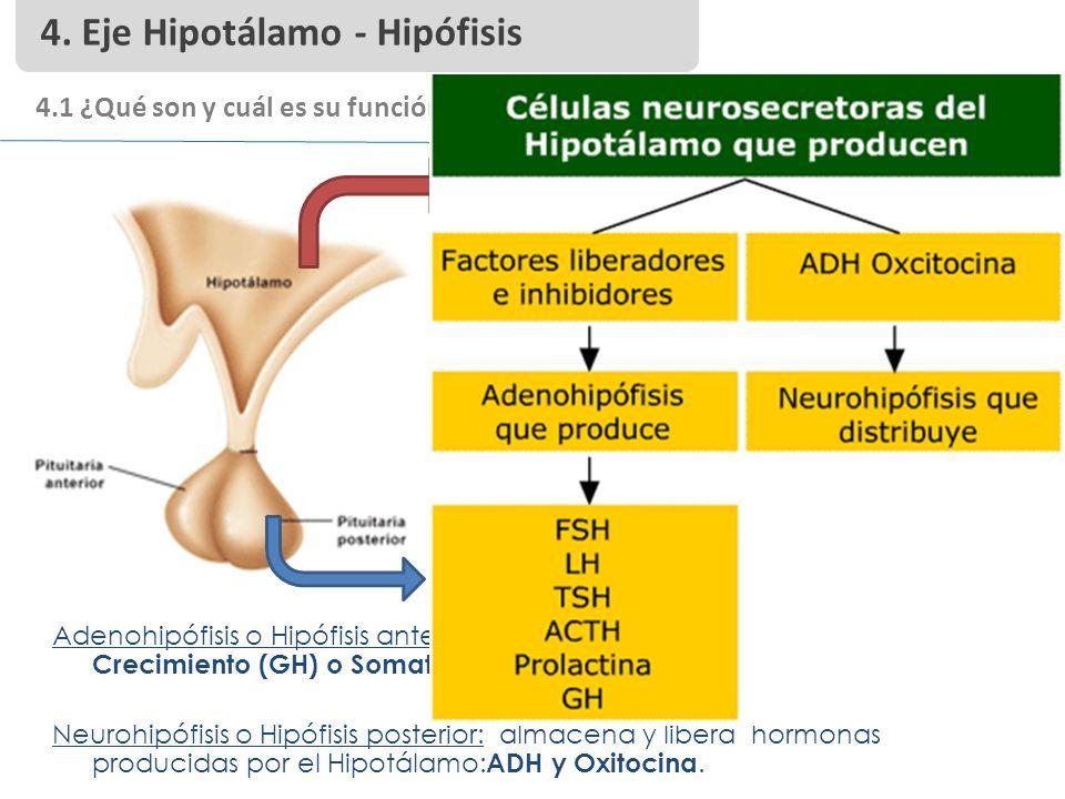 4. Eje Hipotálamo - Hipófisis