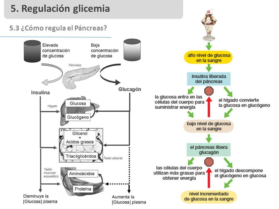 5. Regulación glicemia 5.3 ¿Cómo regula el Páncreas
