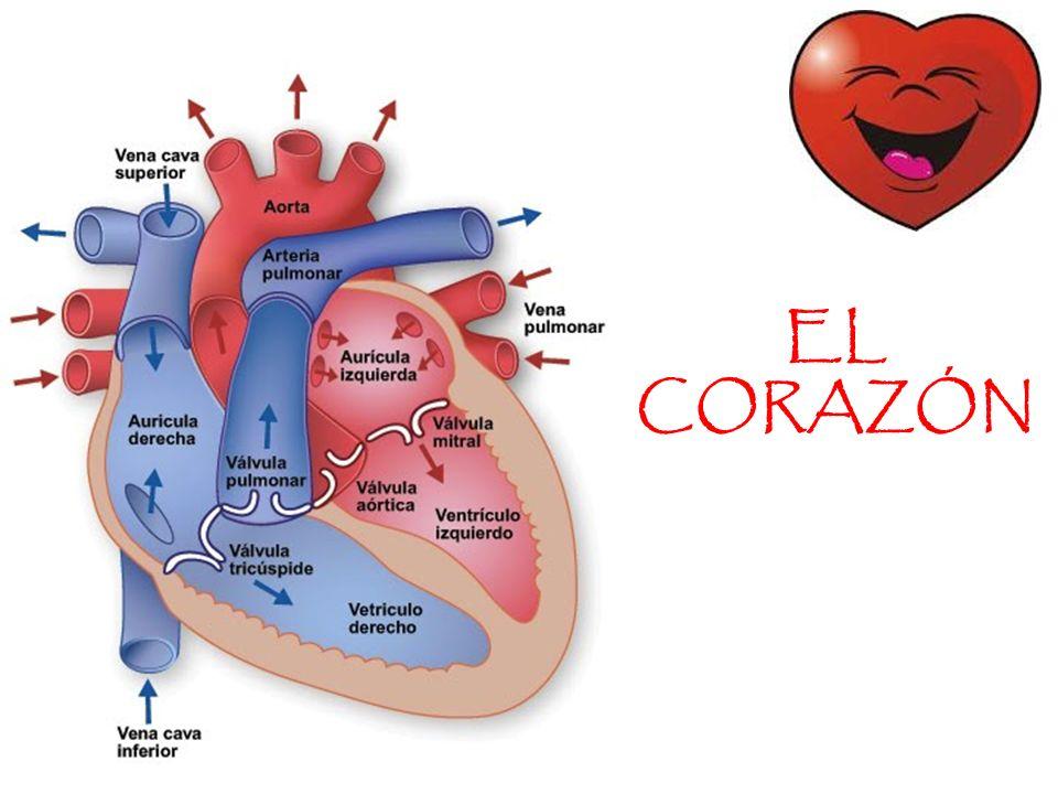Excelente El Corazón Fotos - Anatomía de Las Imágenesdel Cuerpo ...